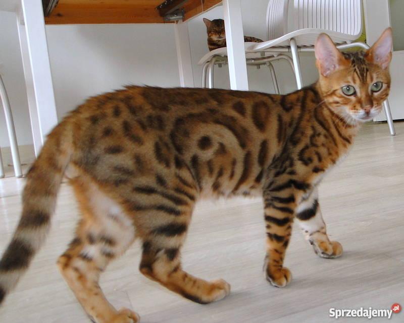 Bardzo Kot Bengalski Mały Sqg61 Usafrica
