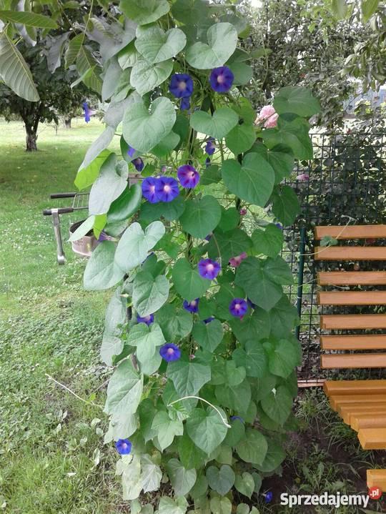 Hibiskusy oraz inne rośliny do ogrodu
