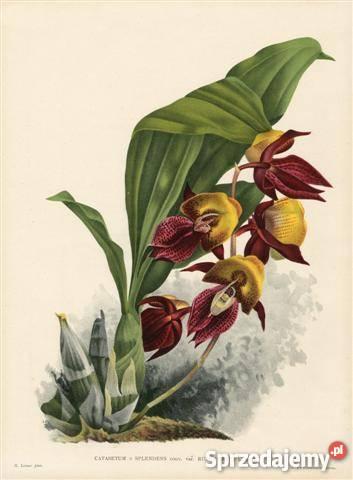 ORCHIDEE STORCZYKI 1 reprodukcje XIX w grafik