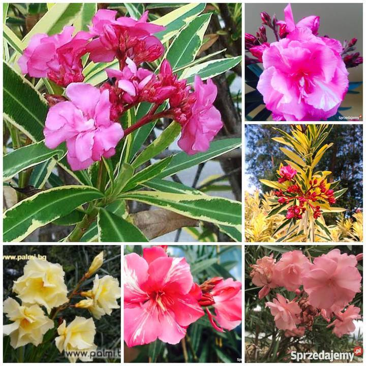 Kwiaty oleander pachnący