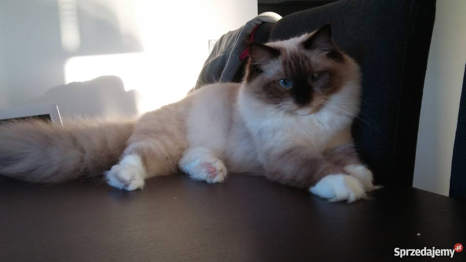 Małopolskie Koty Kotki Kocięta Rasowe I Nierasowe Sprzedajemypl