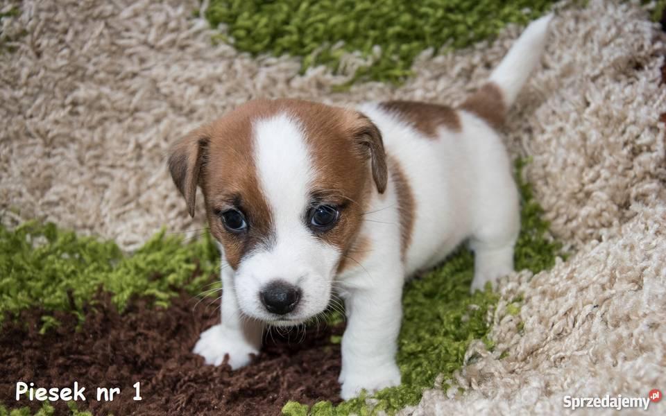 Chłodny Szczeniaki Jack Russell Terrier FCI (Rodowód ZKwP) Ostrów LM82