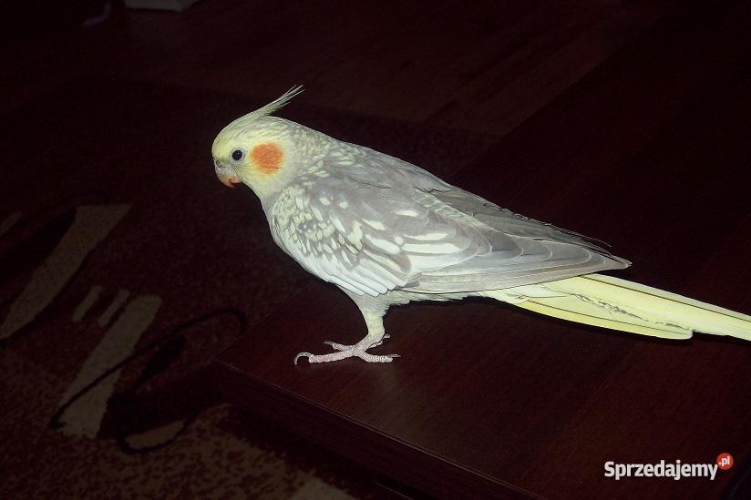 Papuga Nimfa klatka sprzedam