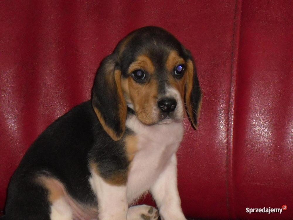 Beagle szczeniaki wielkopolska wielkopolskie Śrem