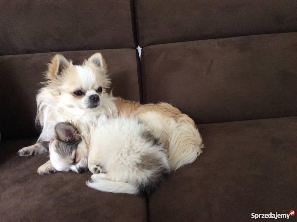 Chihuahua Chihuahua łódzkie Łódź