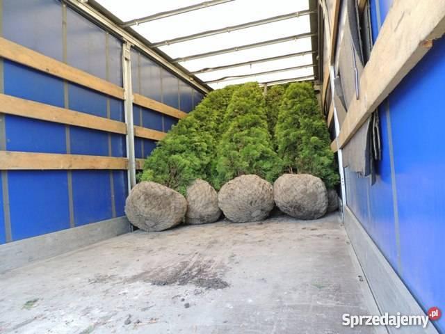 Tuja Smaragd 260 OKAZJA Tuje szmaragd Warszawa sprzedam