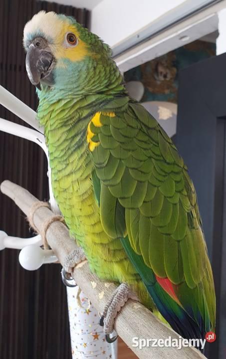 Papuga amazonka niebieskoczelna odsprzedam