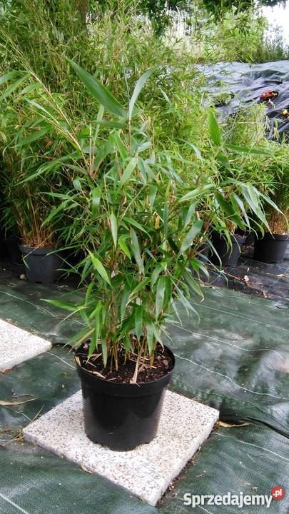 Bambus Fargesia Robusta Pingwu 5l 60 80cm Bambusy Krakow