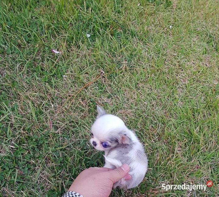 Chihuahua pieski ZKwP/FCI