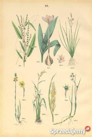 1885 r ZIELNIK III reprodukcje XIX w grafik do sprzedam