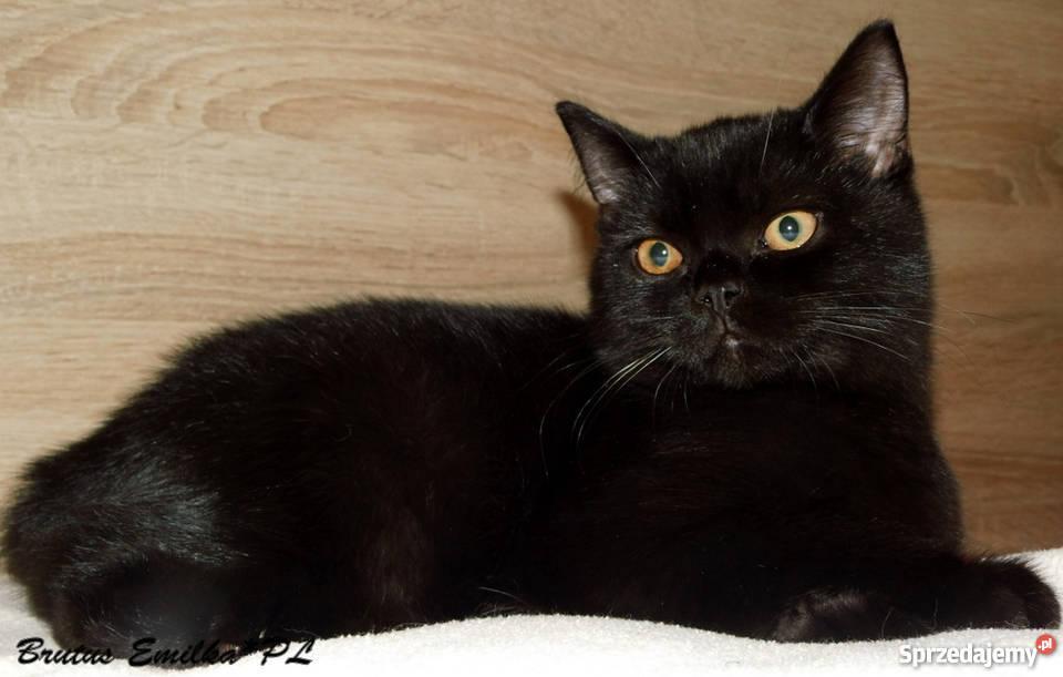 Wspólne Koty brytyjskie krótkowłose rodowód FPL Niebieskie, czarne Gliwice  MO-98
