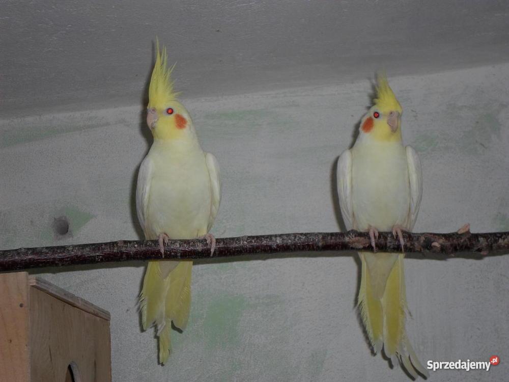 Papugi Faliste Pozostałe Lidzbark