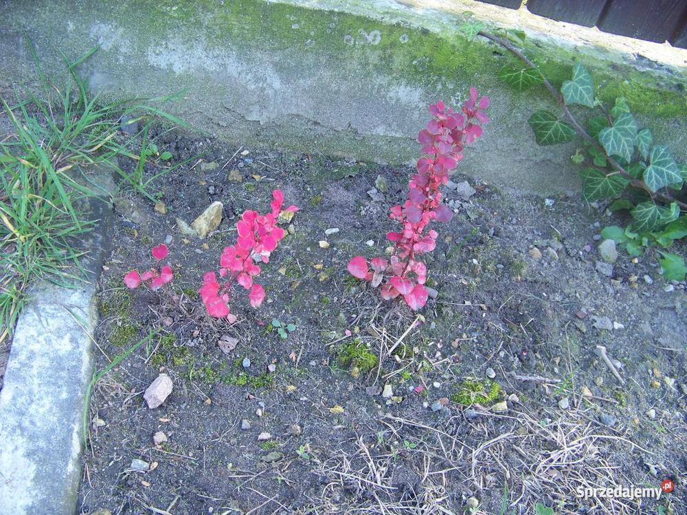 Berberys sadzonki rośliny ogród skalniak Jaworzno sprzedam