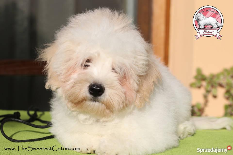 Psy Z Włosami Rasy Sprzedajemypl