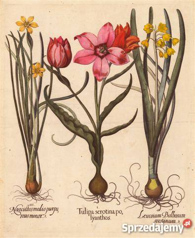 KWIATY 1713 r reprodukcje XVIII w grafik do sprzedam