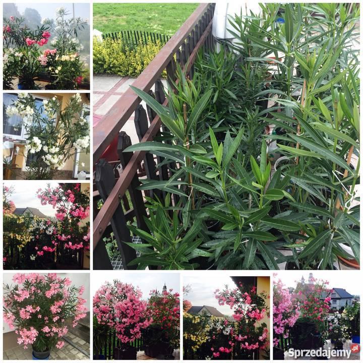 Kwiaty oleander pachnący Brzeźnica