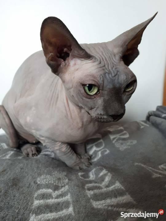 Sfinks Kotka Nie Wysterelizowana Z Rodowodem Szczurowa