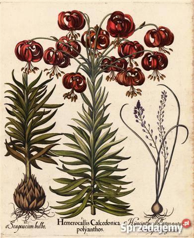 1713 r ZIELNIK reprodukcje XVIII w grafik do