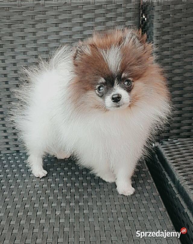 Unikatowy Piesek Rodowód FCI Szpic miniaturowy Pomeranian