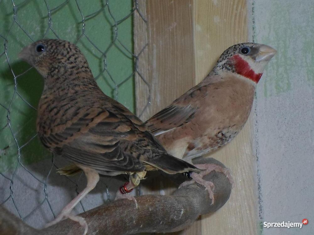 Papugi Faliste warmińsko-mazurskie Lidzbark