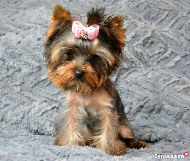 https://thumbs.img-sprzedajemy.pl/1000x901c/4e/59/f2/yorkshire-terrier-mini-suczka-york-1-zkwp-fci-psy-torun-406031427.jpg