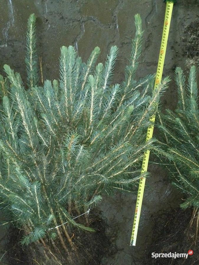 Świerk srebrny 3 letni sadzonki na plantacje Sławno