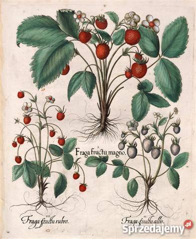 KWIATY 1713 r reprodukcje XVIII w grafik do Wrocław