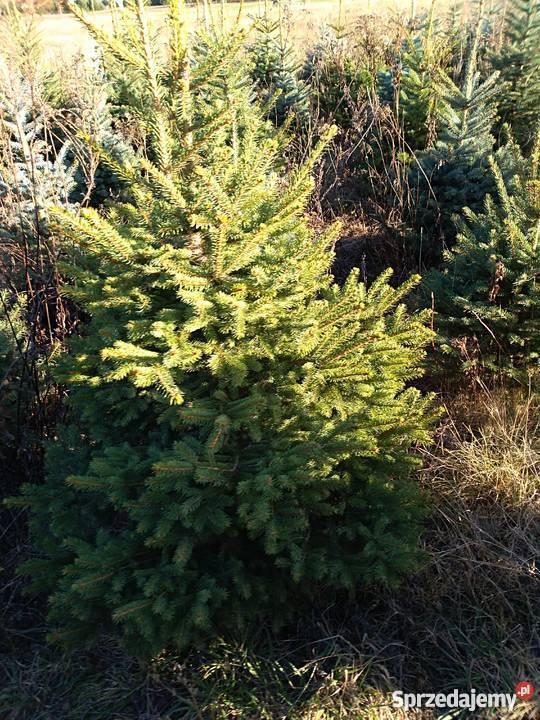 Choinki bożonarodzeniowe hurt detal Myszków