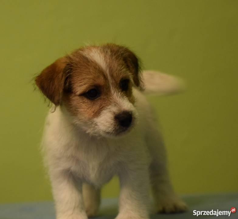 Jack Russell Terrier szczenięta z rodowodem ZKwP mazowieckie Warszawa sprzedam