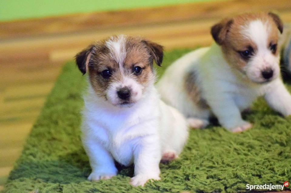 Jack Russell Terrier szczenięta z rodowodem ZKwP