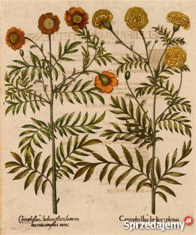 1713 r ZIELNIK reprodukcje XVIII w grafik do dolnośląskie