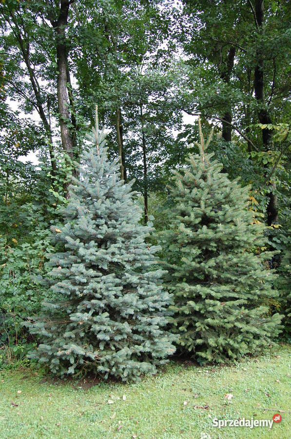 Choinki drzewka bożonarodzeniowe świąteczne Kłodzko sprzedam