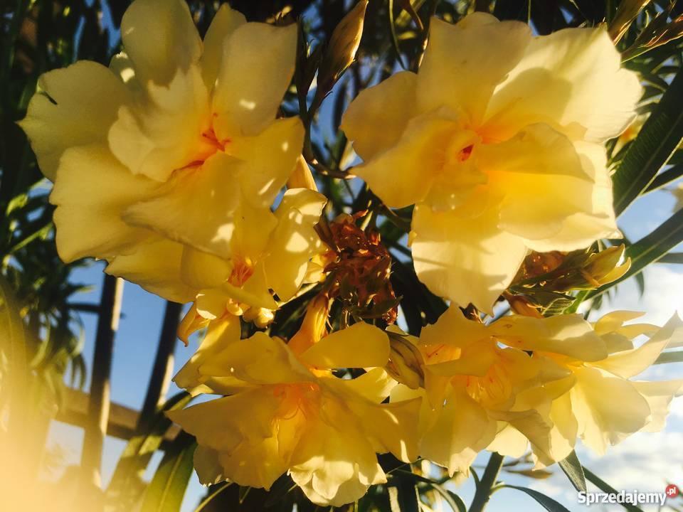 Żółty oleander Szczepki Brzeźnica
