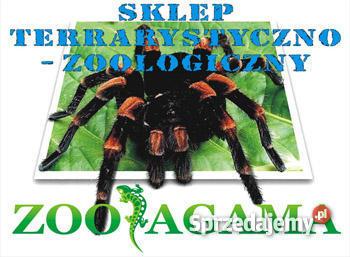 Gekon Lamparci Dąbrowa Górnicza