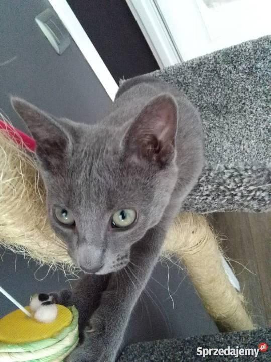 Kot Rosyjski Niebieski Częstochowa Sprzedajemypl