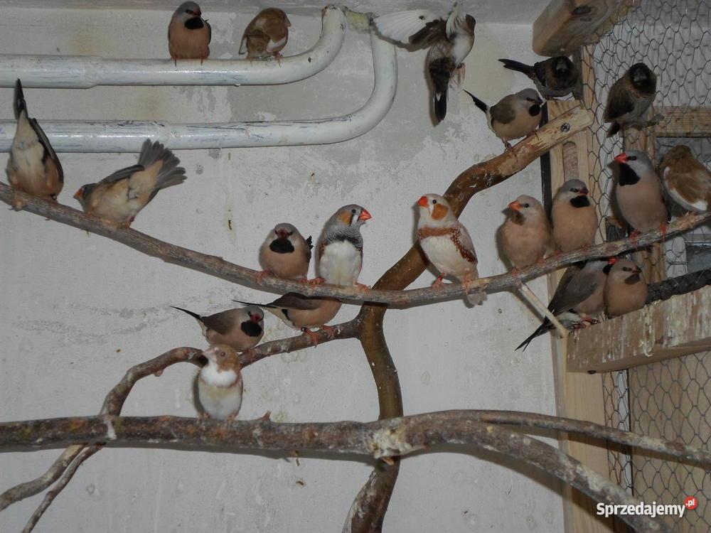 Papugi Faliste warmińsko-mazurskie sprzedam