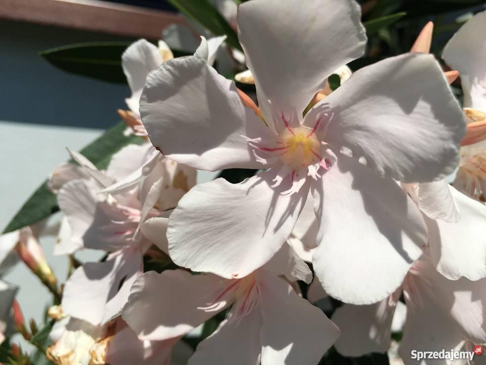 Sadzonki oleander kremowy Brzeźnica