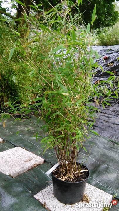 Bambus Fargesia Great Wall 5l 100 125cm Bambusy Krakow Sprzedajemy Pl