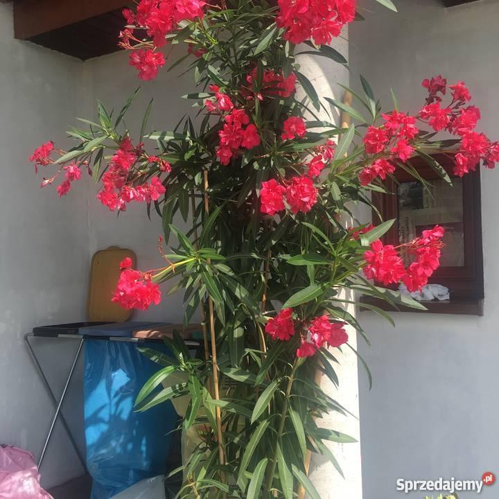 Sadzonki oleander kremowy małopolskie