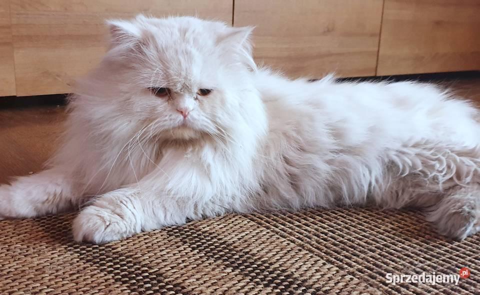 Koty Czestochowa Rasowe Kotki Kocieta Na Sprzedaz Sprzedajemy Pl