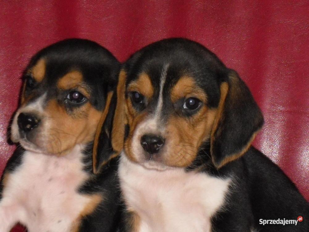 Beagle szczeniaki wielkopolska