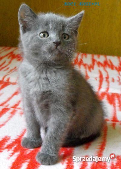 Kocięta Kartuskie Chartreuse Uśmiechnięte Koty Francji