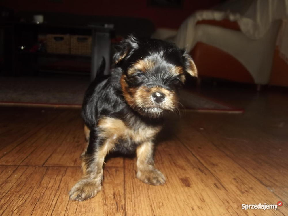 Yorkshire terrier miniaturka Radomsko