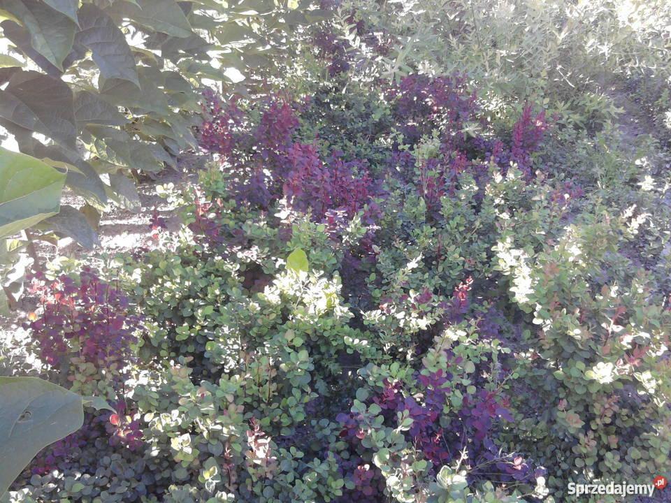 liguster mahonia pigwowiec modrzew catalpa Puławy