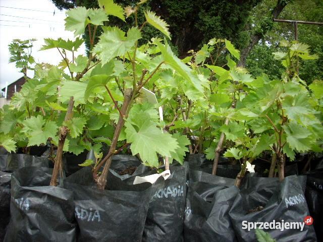 Sadzonki winorośli winogron Ozorków sprzedam