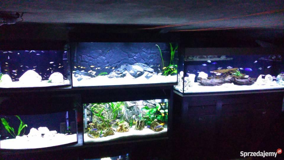Pyszczaki Akwarium Malawi Bardzo Duży Wybór Super Barwy Warszawa