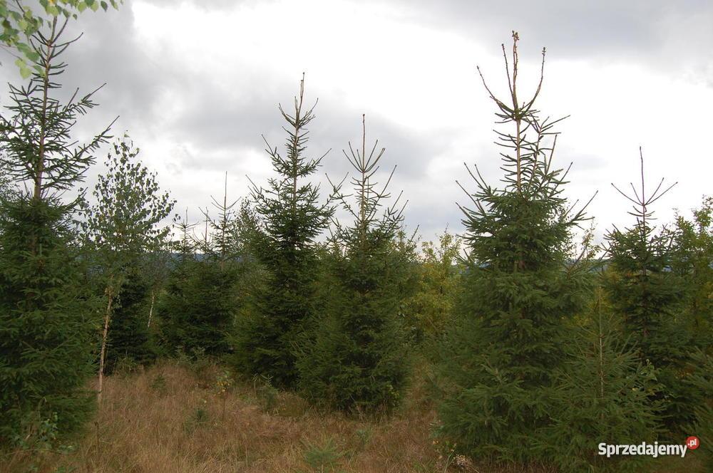 Choinki drzewka bożonarodzeniowe świąteczne Kłodzko