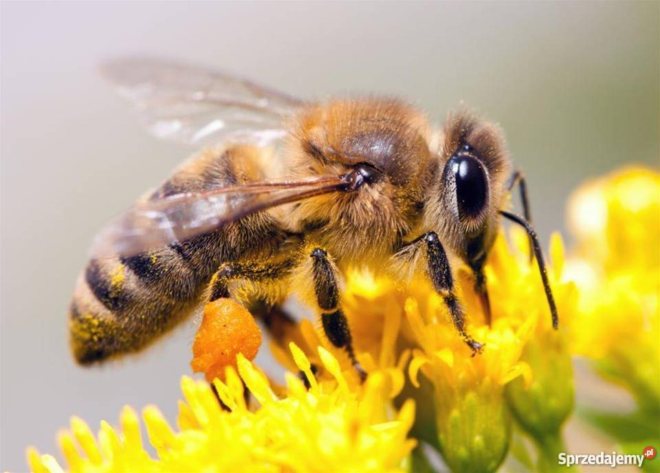 Pakiet pszczeli, pszczoły