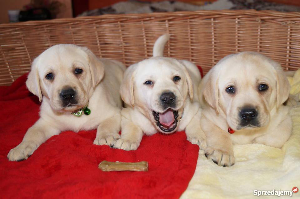 Topnotch Psy Labrador, pies rasy Labrador na sprzedaż - Sprzedajemy.pl IE84