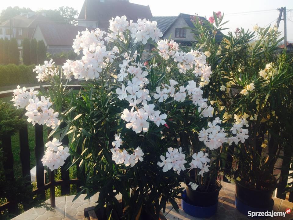 Sadzonki oleander Brzeźnica